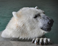 The-Louisville-Zoo-Polar-Bear