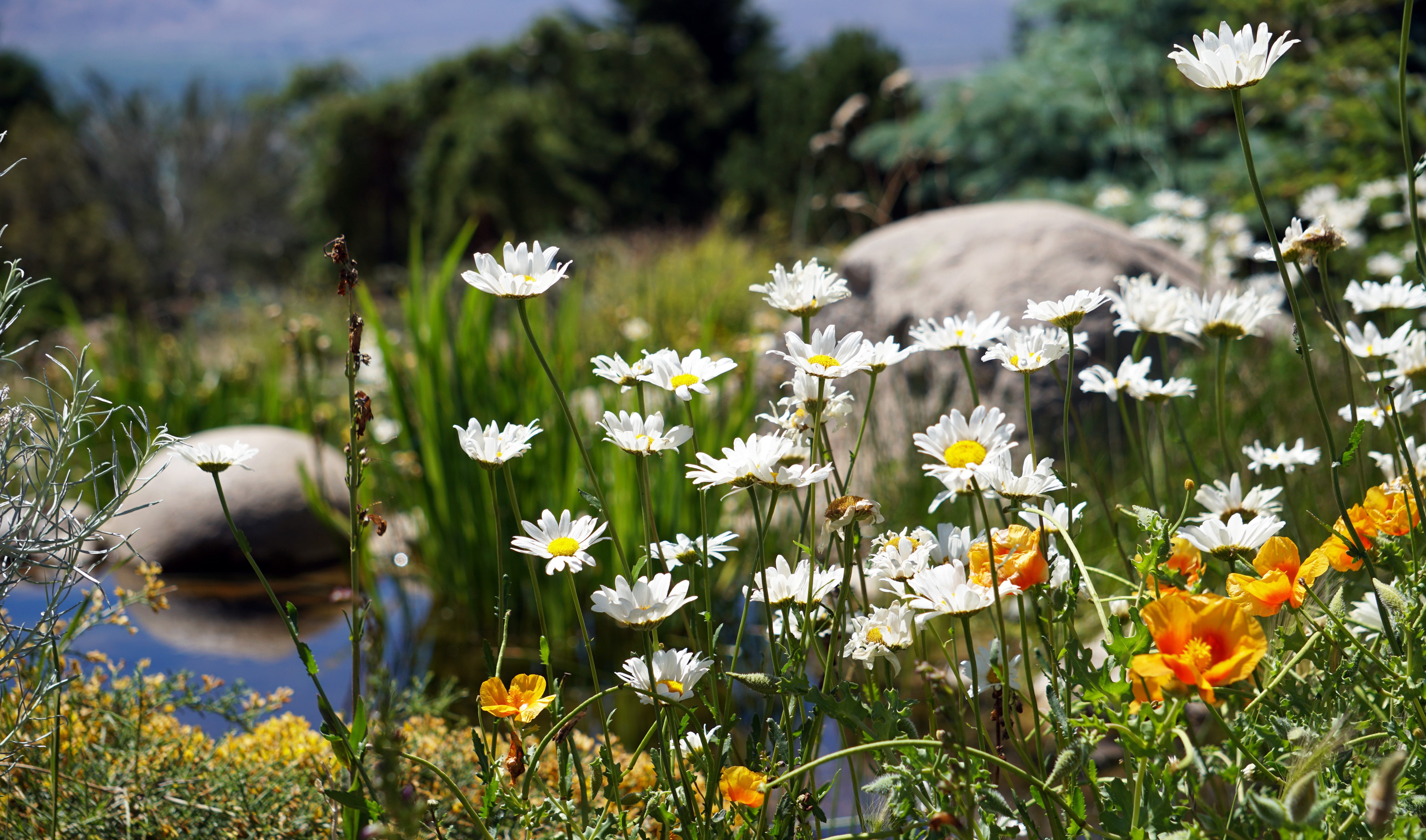 Flowers and pond in the Eastern Sierra