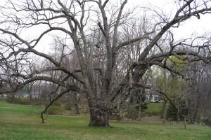 Harding NJ Tree...Very Old and Beautiful