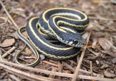 garter_snake_400