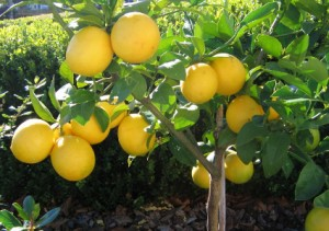 meyer lemon trees are a Los Angeles staple