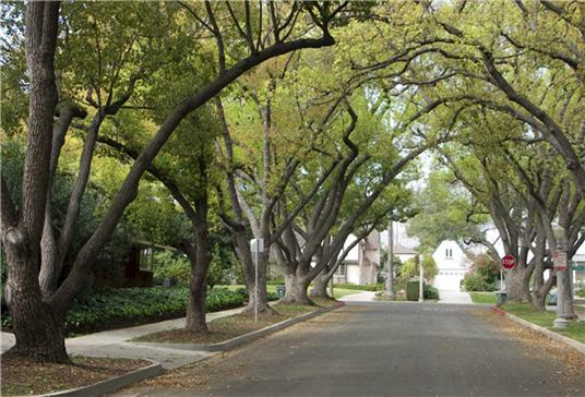 Tree lined streets, a hallmark of Pasadena, California