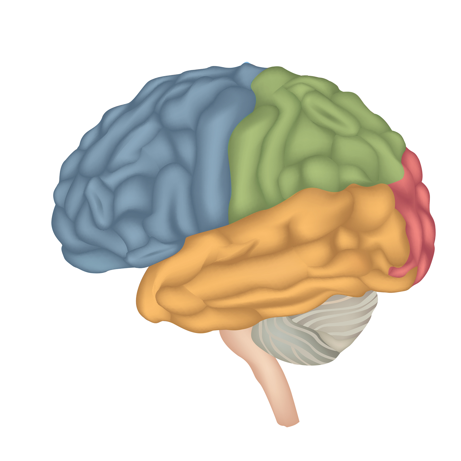 anatomy of a brain as part of a article on anatomy of a real estate offer
