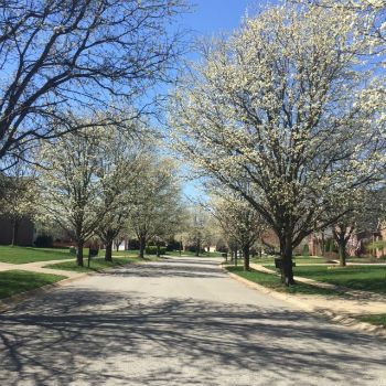 White Blossom Blvd in Spring