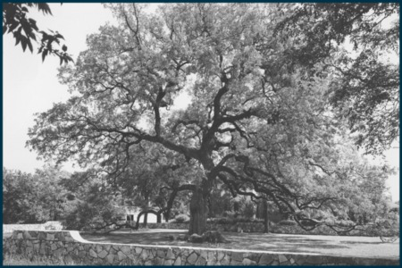 Vintage Austin: The Treaty Oak