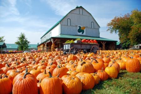 Reesor's Pumpkin Farm in Markham