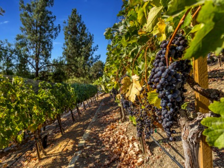 The Harvest Is On At This Stately Manor And Vineyard