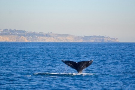 Enjoy Whale Watching Season in the South Bay