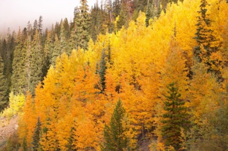 The Aspen Trees in Steamboat