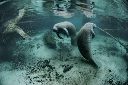 Must See: SWFL Manatee Migration