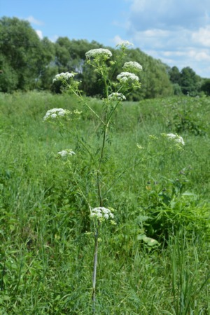 What Is Poison Hemlock? Could It Kill Your Pets?