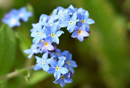 Alaska's State Flower – Forget Me Not