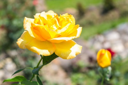 How to grow better roses in Scottsdale