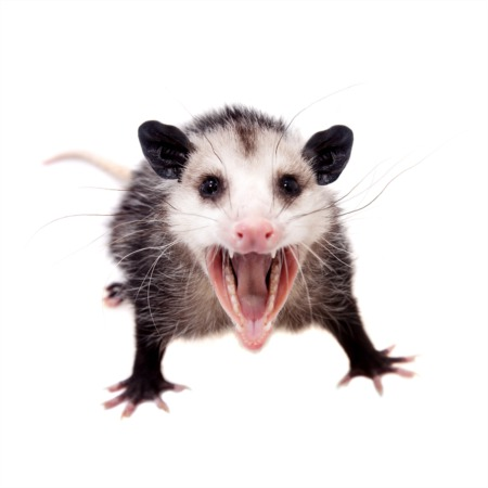 Eat at the Awesome Possum Pizza Party at the Second Chances Wildlife Center March 24