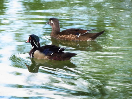 Feed the Ducks at McNeely Lake Park This May