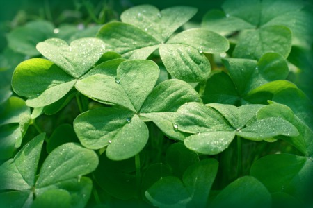 Look for Four-Leaf Clovers This July