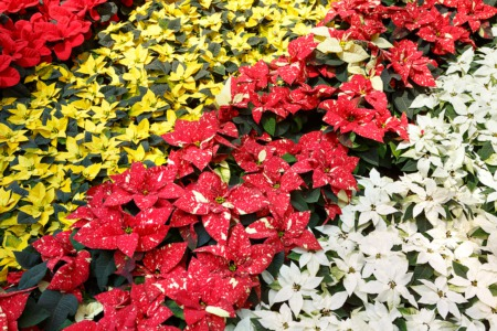 Teach the Kids About Holiday Plants December 13