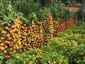Encinitas considering planting fruit trees within the city
