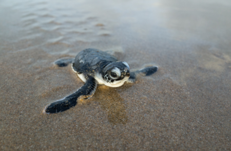 Green Sea Turtle Nests Found At Pinellas County Beaches