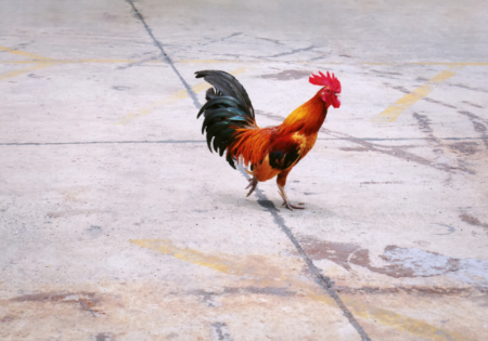 Hotel Haya to host 'Chicken Yoga' in Ybor City
