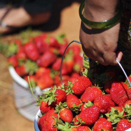 Friday Night on the Farm - Mechanicsville Strawberry Picking