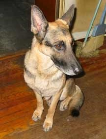 Happy Ending for German Shepherd Rescue