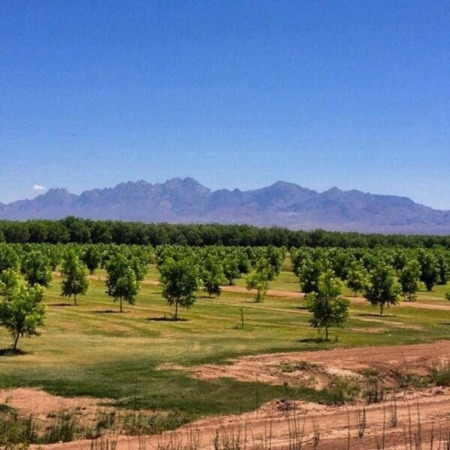 Las Cruces Real Estate | Throwback Thursday - Pecan Orchards