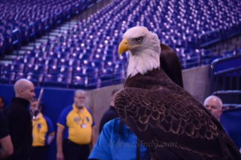 Colts Fans Welcome Eagle to Lucas Oil Stadium