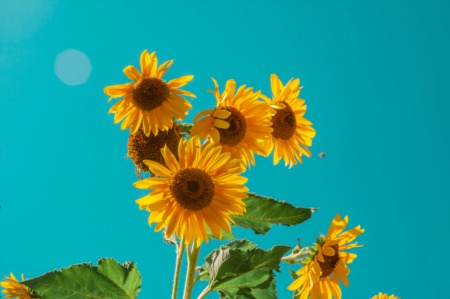 How To Grow Sunflowers To Beautify Your Garden and Decontaminate the Soil