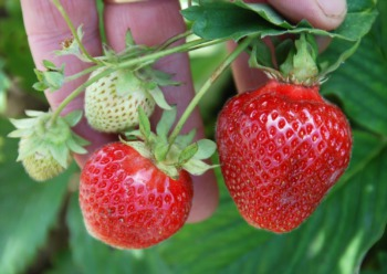 Sweet Berry Farm Provides Fun Strawberry Picking