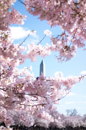 The 2020 National Cherry Blossom Festival