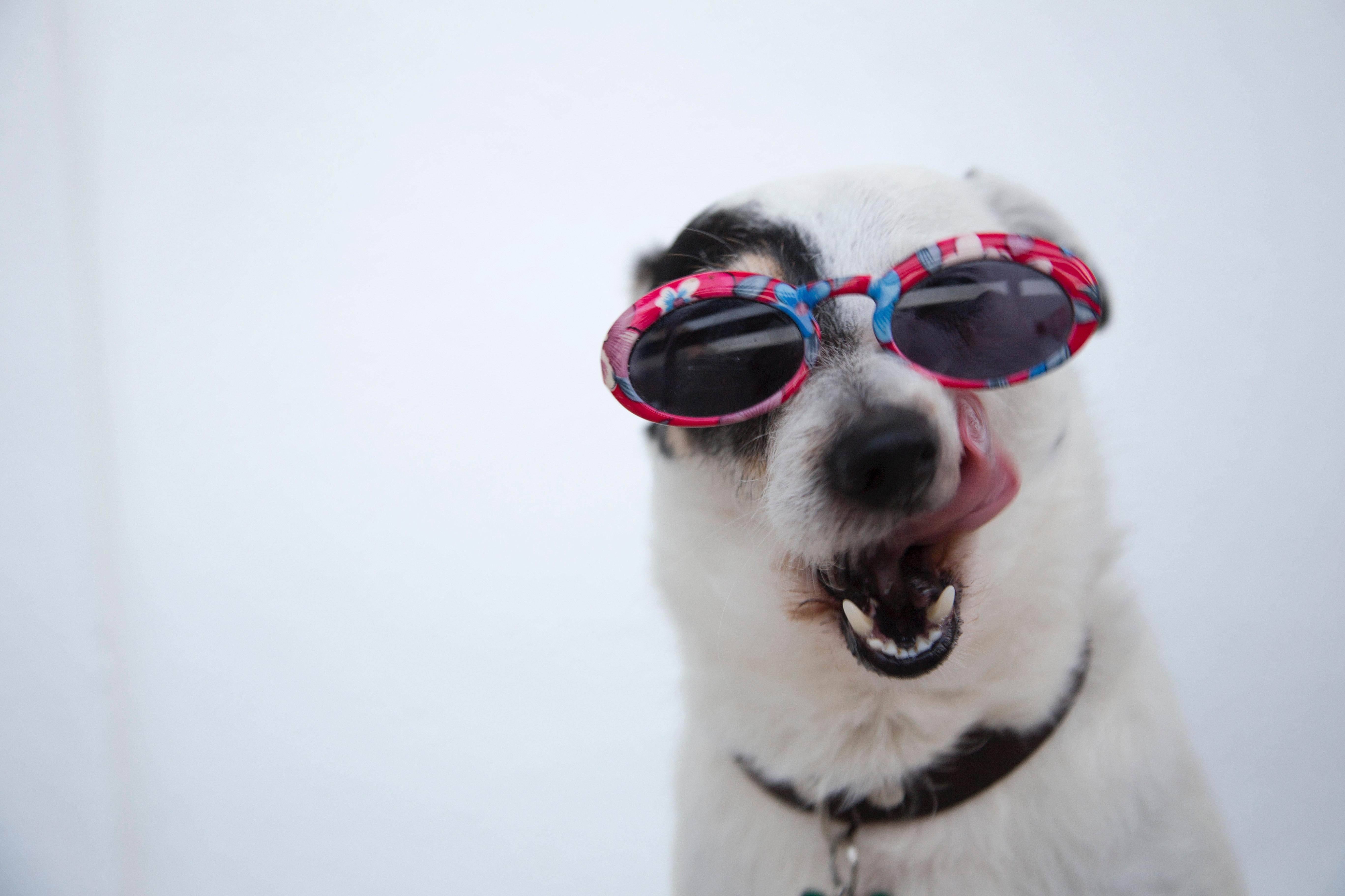 dog celebrating fourth of July