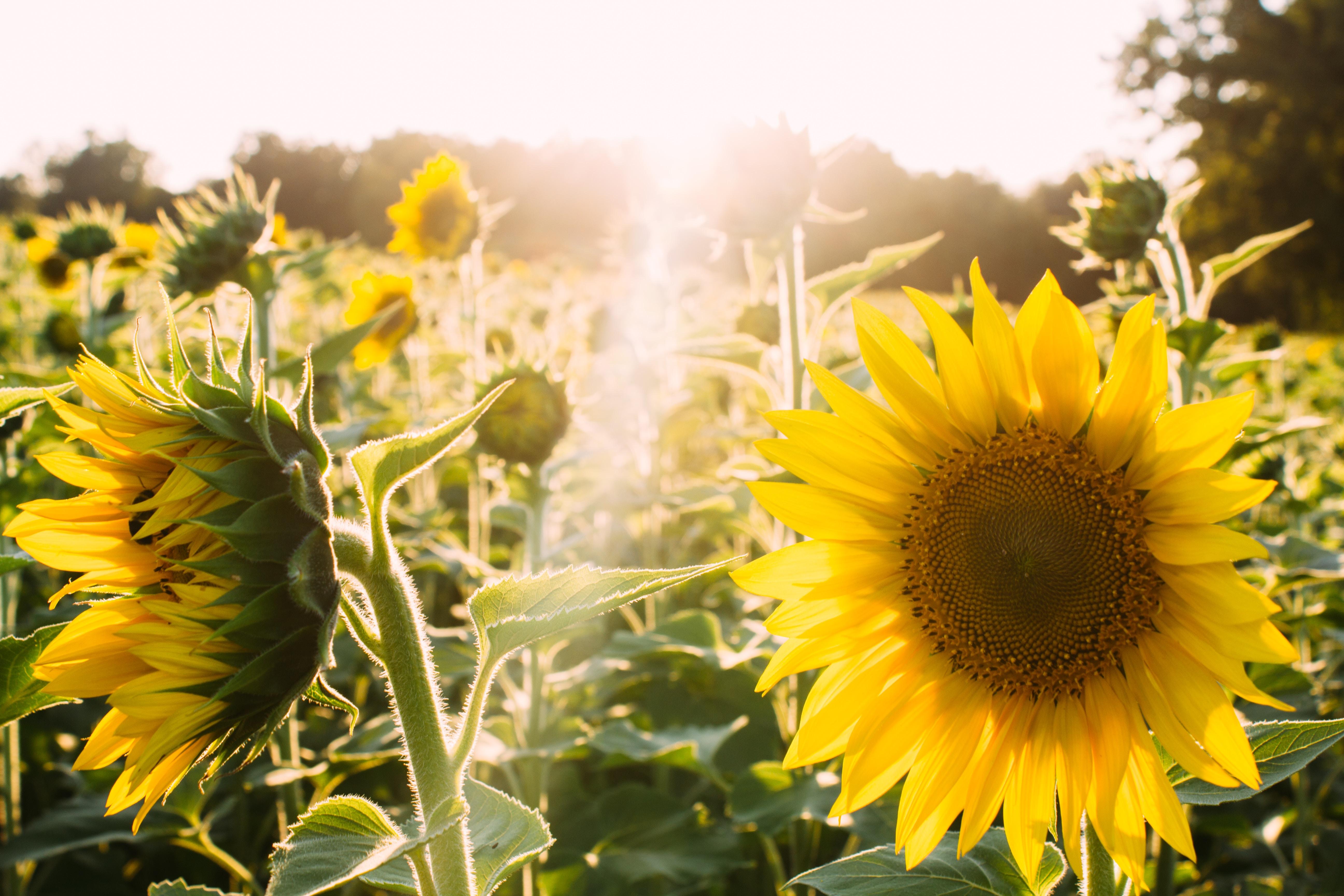 Sunflower Field at Dorothea Dix Park