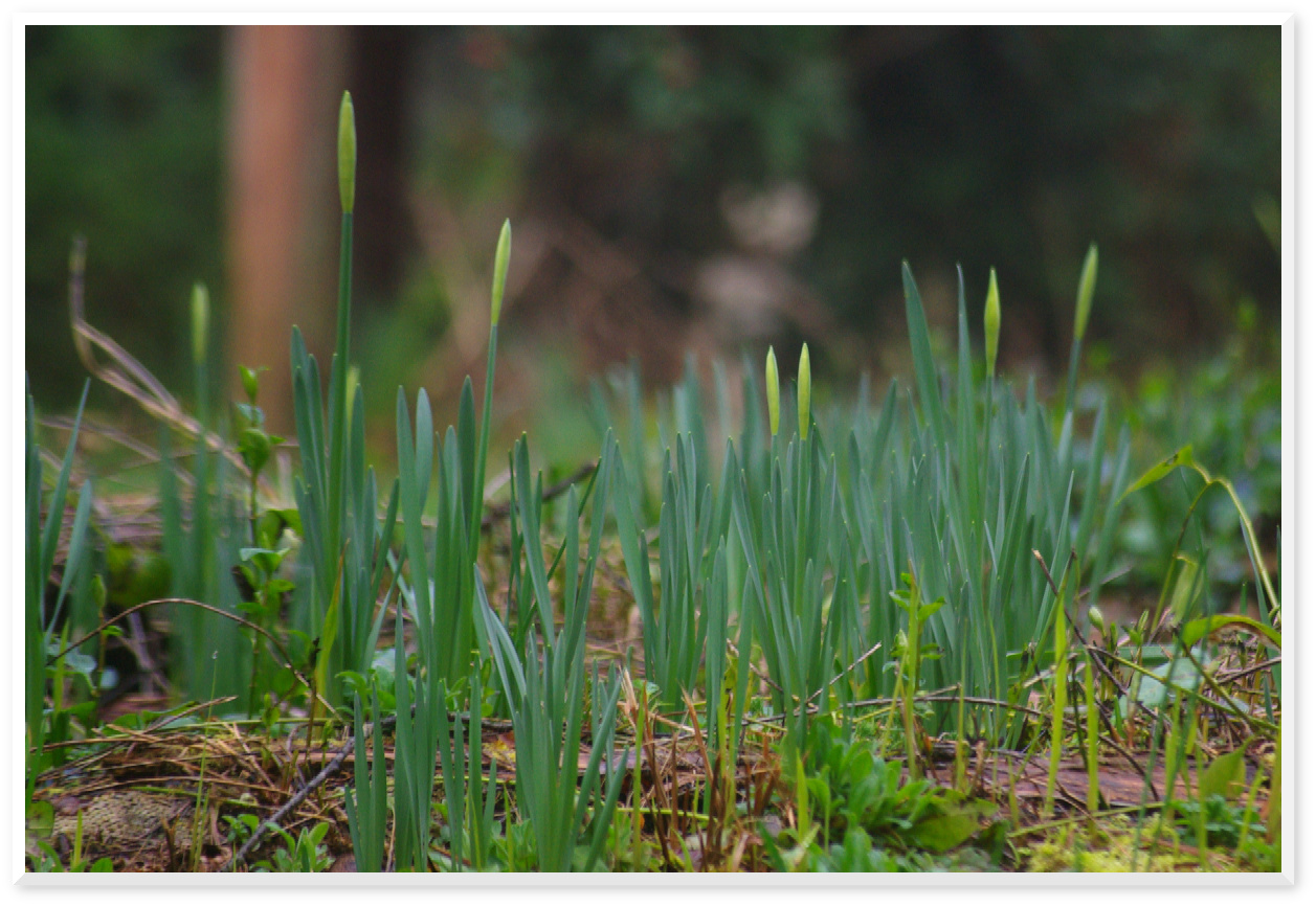 Gardening in Kitsap - Daffodils in February!