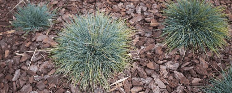 Blue Fescue - Festuca glauca