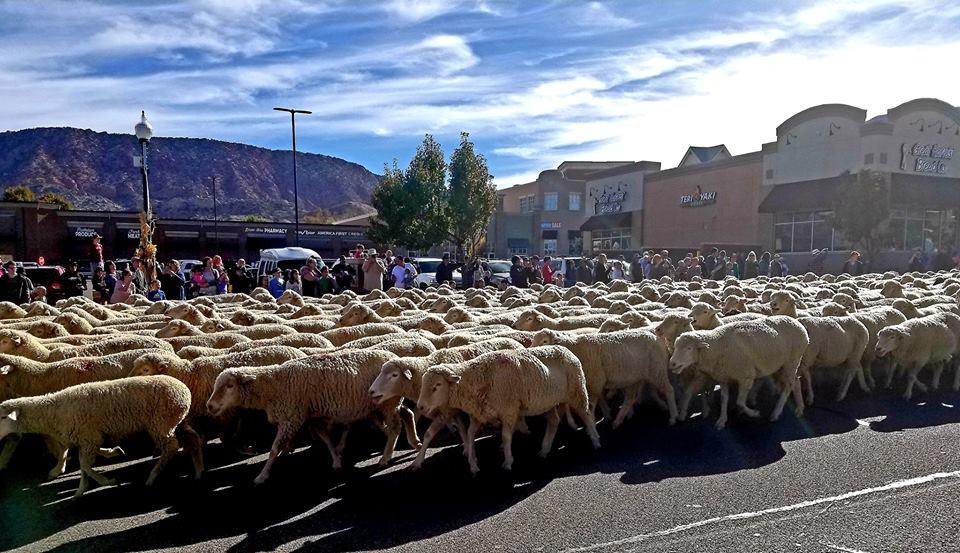 Sheep marching down Cedar City Main Street