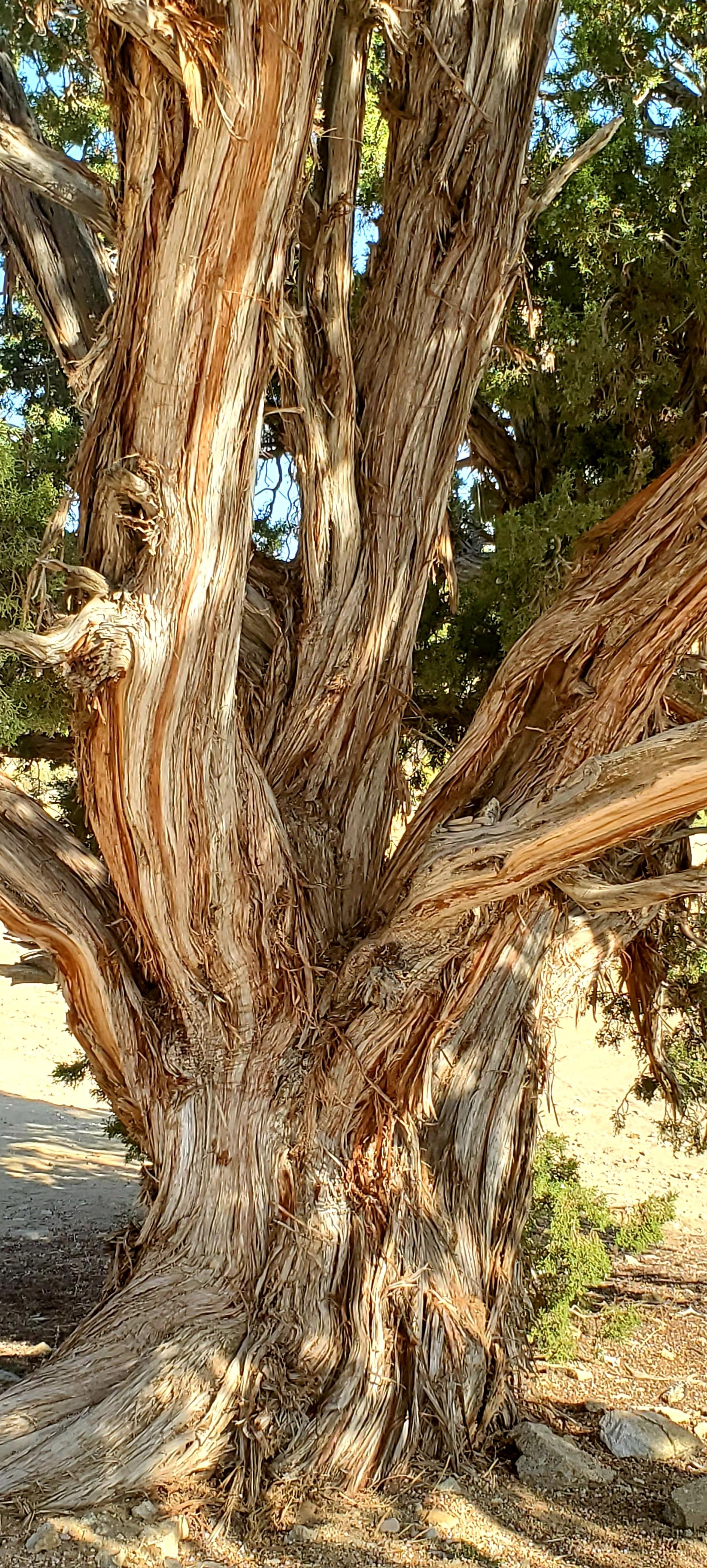 Tall Twisted Juniper Tree