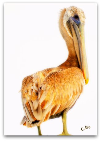 Pelican On Beresford Creek