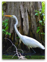 Egret at Magnolia Gardens in Charleston SC