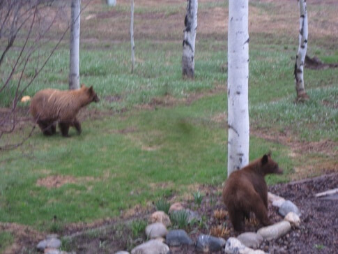 Two Small Bears Playing in Steamboat Springs