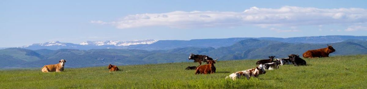 Steamboat Springs Cows laying on the grass