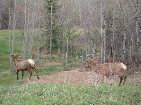 Elk in Steamboat Springs CO