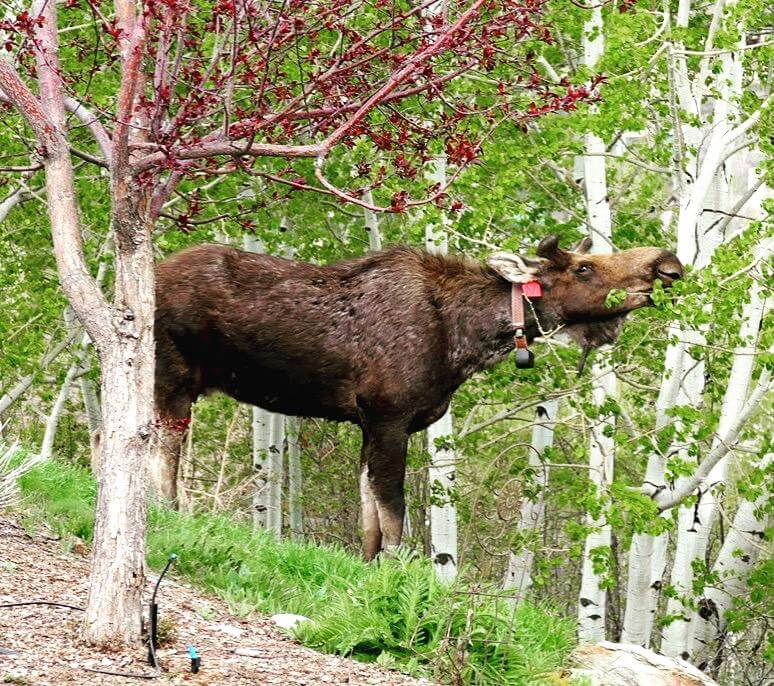 Moose with Collar Steamboat Springs