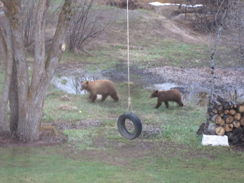 Small Bears Playing in Steamboat Springs