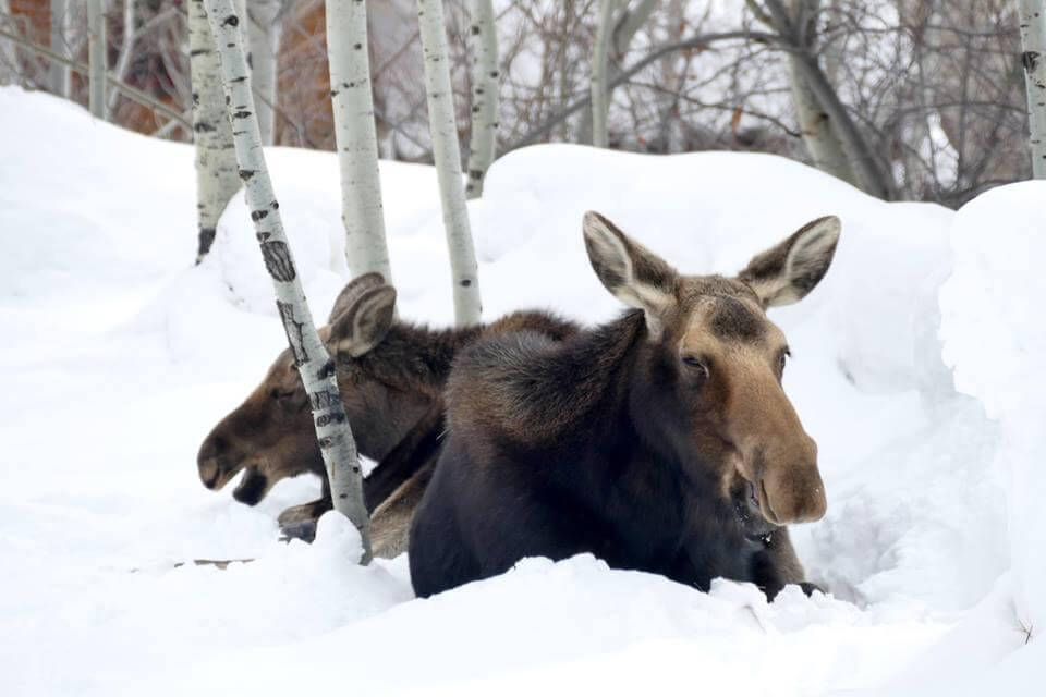 Two Young Moose Sitting in Snow in Steamboat Springs