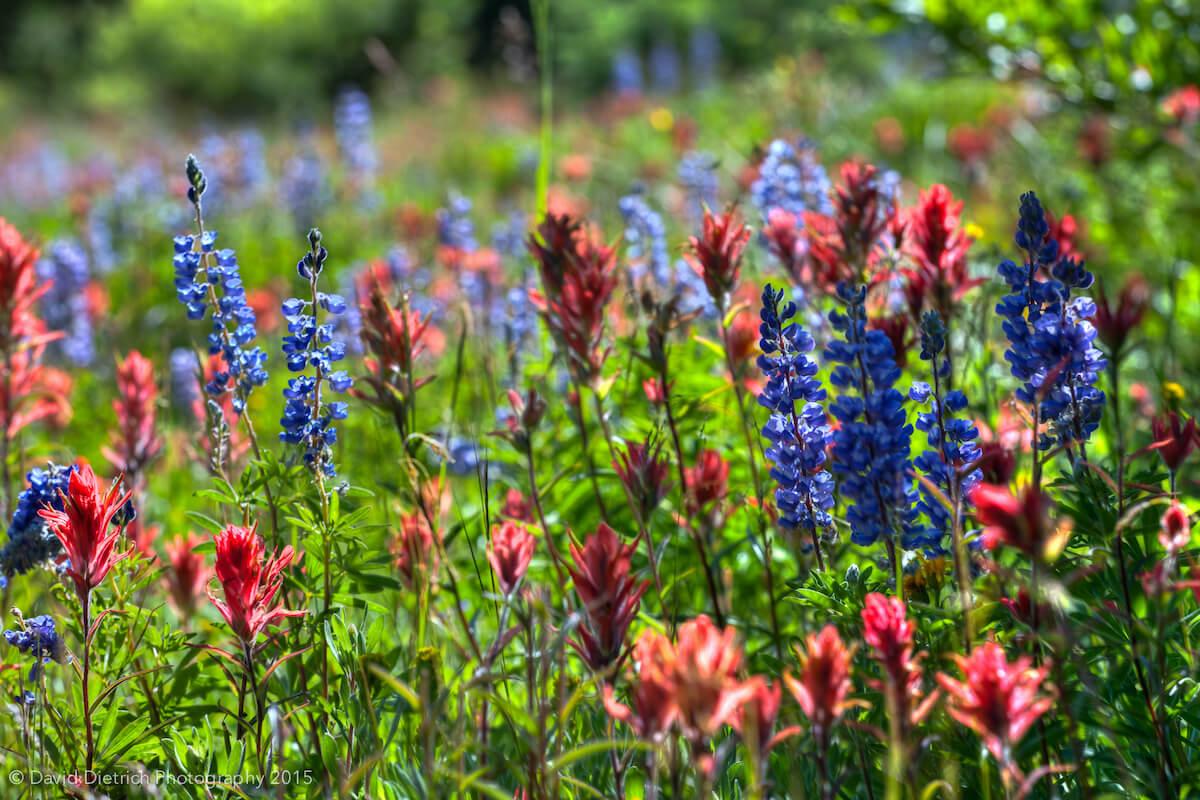 Wildflowers in Steamboat Springs Colorado
