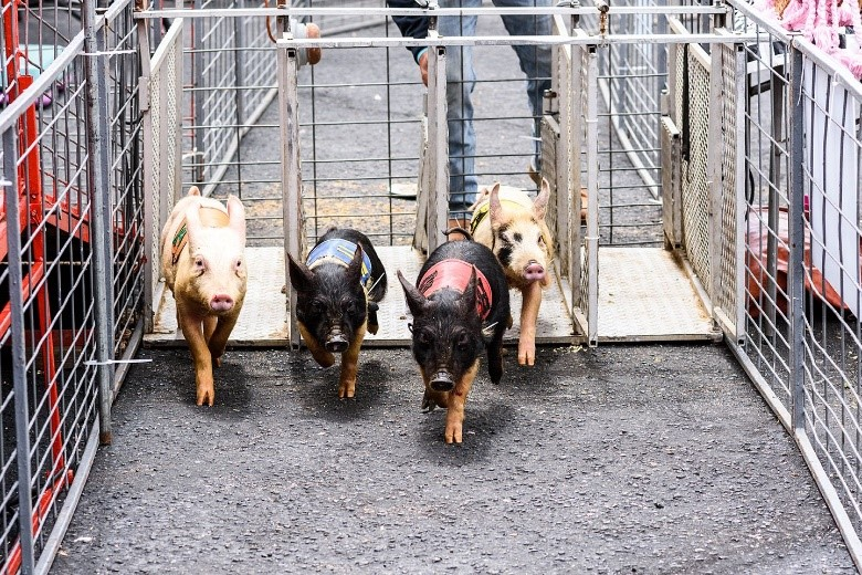 Ham and Yam Festival Smithfield, NC - Pigs in a line racing