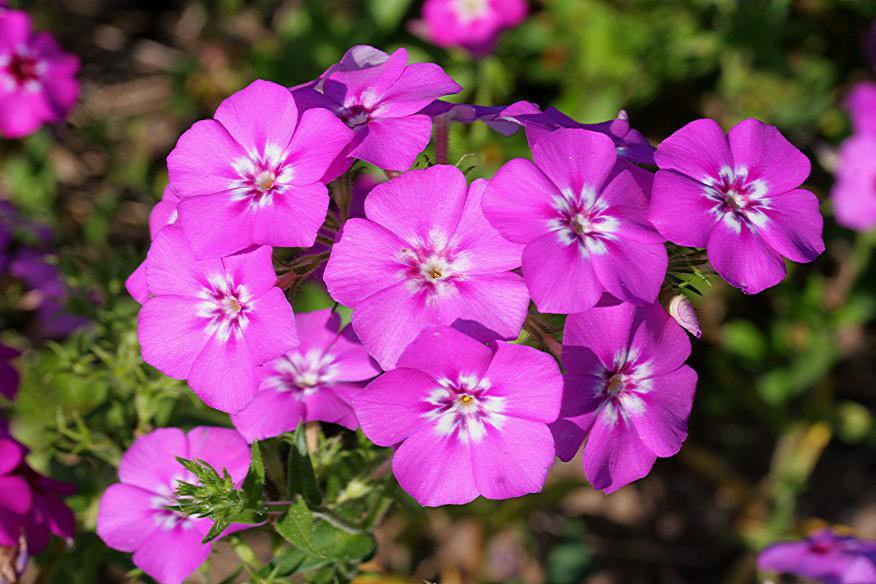 Phlox drummondii - Photo by: Malcolm Manners