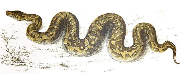 Artist rendering of a python