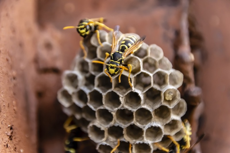 Avoiding Bee, Wasp, and Hornet Stings at Home